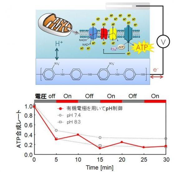 生体素材を電気で制御――ミトコンドリアのATP合成を制御 ...